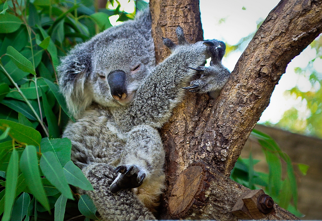 A napping koala hugging a tree in Chiang Mai zoo in Thailand