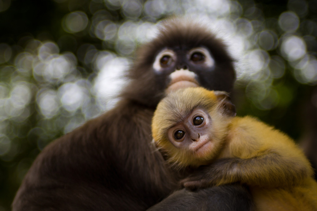 Dusky leaf monkeys, also known as spectacled langur monkeys in the south of Thailand.