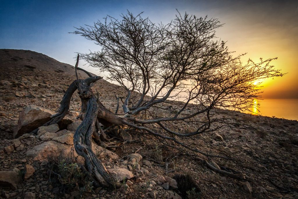Uprooted Tree near Khasab in Oman