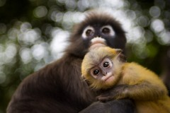 Dusky Leaf Monkey - Yellow