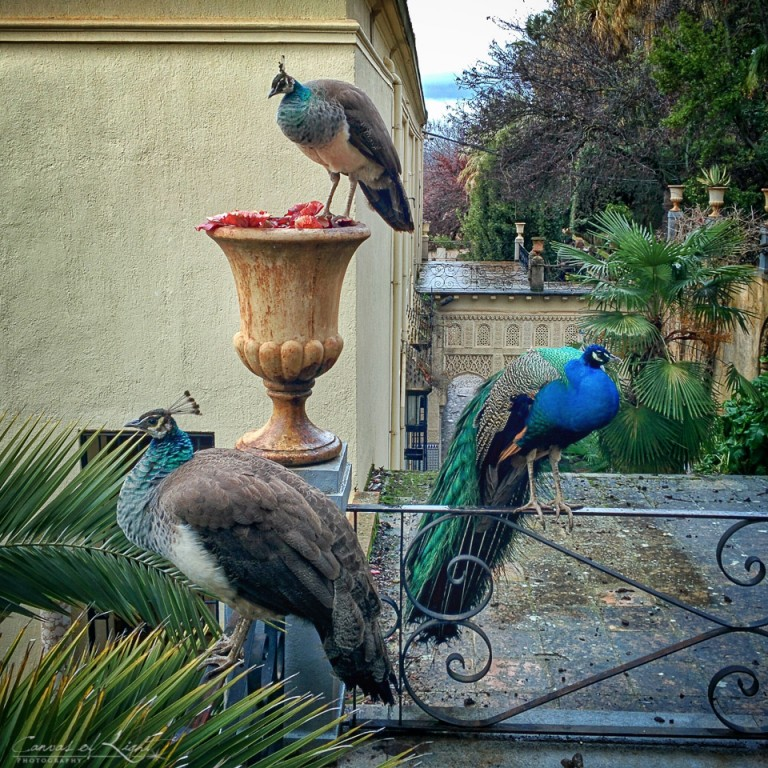 Peacocks in Granada - Spain