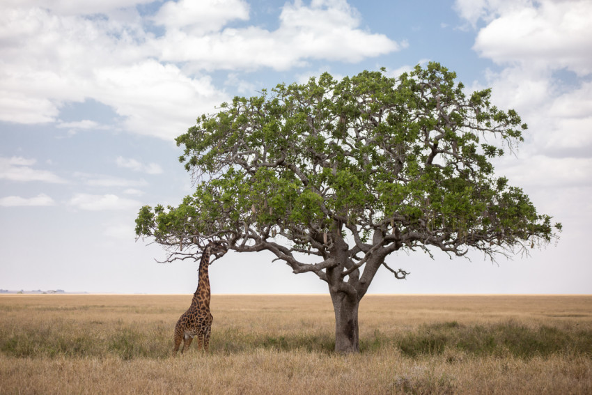 Another shot of a giraffe eating from a tree in the Serengeti.