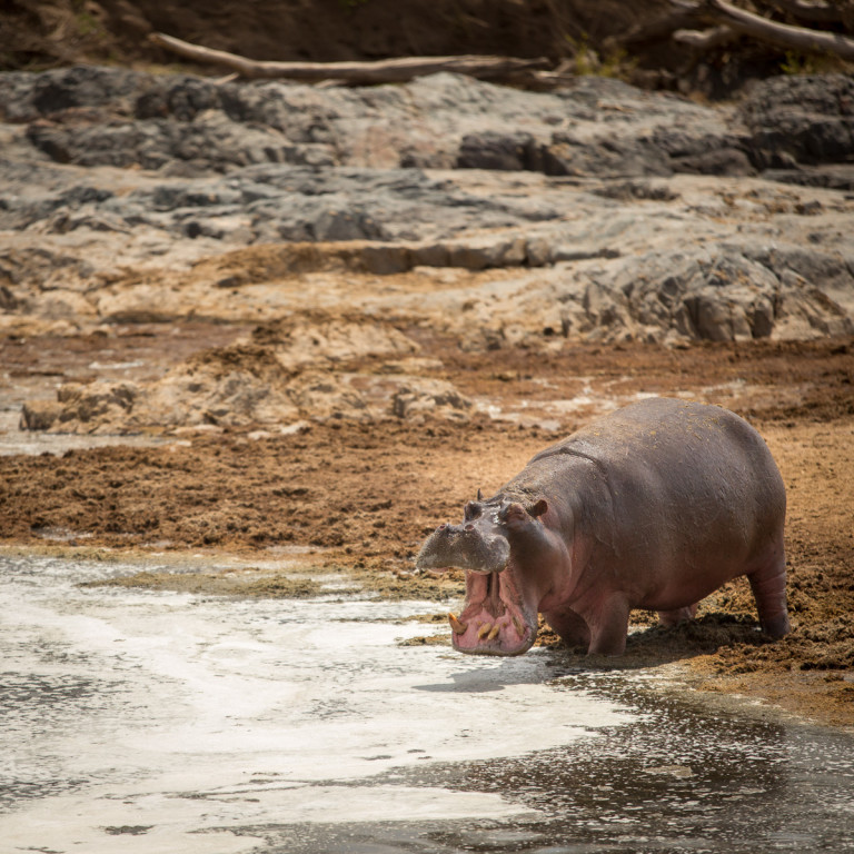 The big ugly and smelly hippopotamus. They can be surprisingly fast on land and they are actually one of the most dangerous animals in the Serengeti. Forget the lions, fear the hippos.