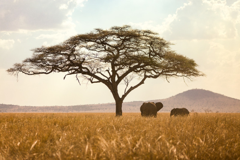 Serengeti_Elephants_Tree