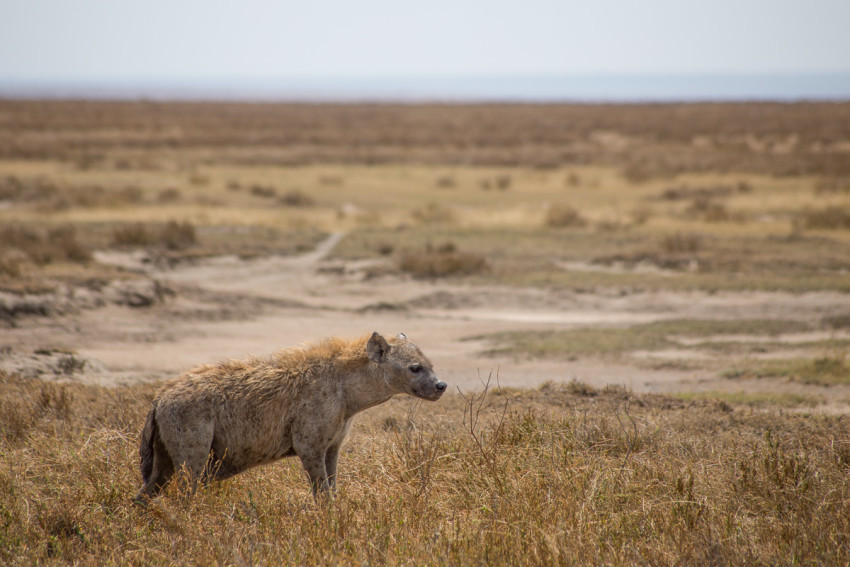 The Spotted Hyena. Not as ugly as they are often portrayed. They have one of the most powerful jaws in the world.