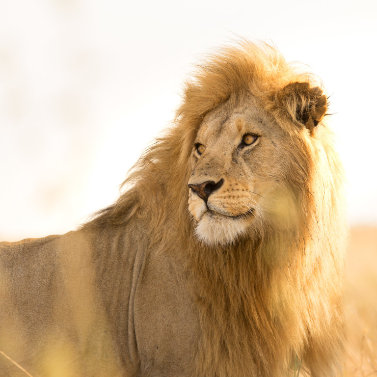 A close up encounter (4m away) with a male lion. Probably one of my best experiences in the park. Such majestic and beautiful creatures.