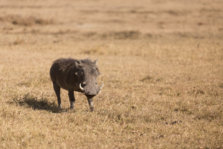 Mostly famous thanks to Pumba in the Lion King movie. They are actually shy creatures and you'll most likely capture warthog butts most of the time as they always run away as soon as you approach.