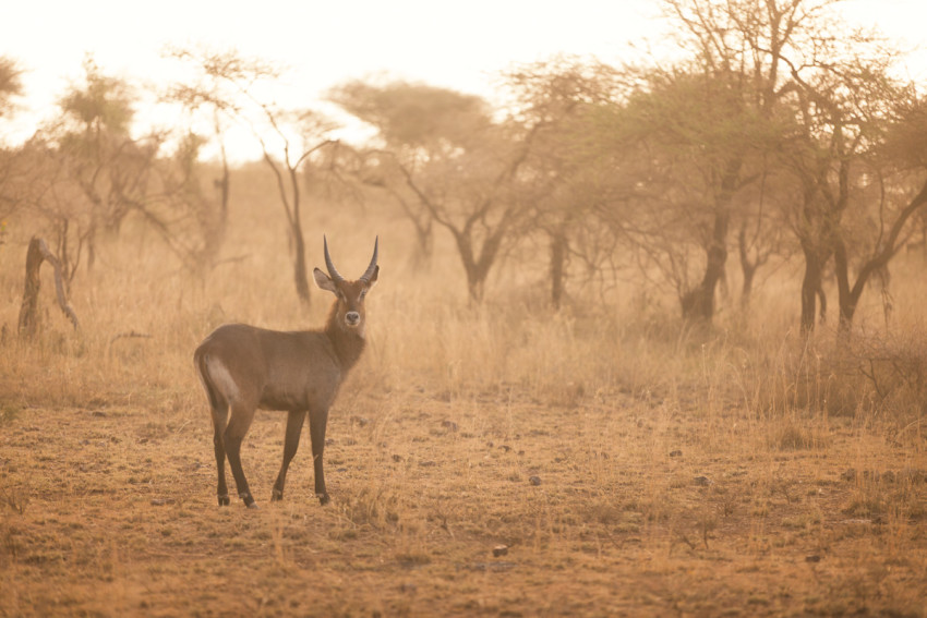 A waterbuck at sunset. Despite their name, waterbucks don't enjoy being in the water.