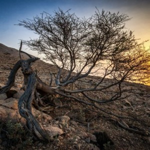 Uprooted ~ Oman