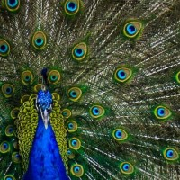 A portrait of a peacock in the Chiang Mai zoo in Thailand.