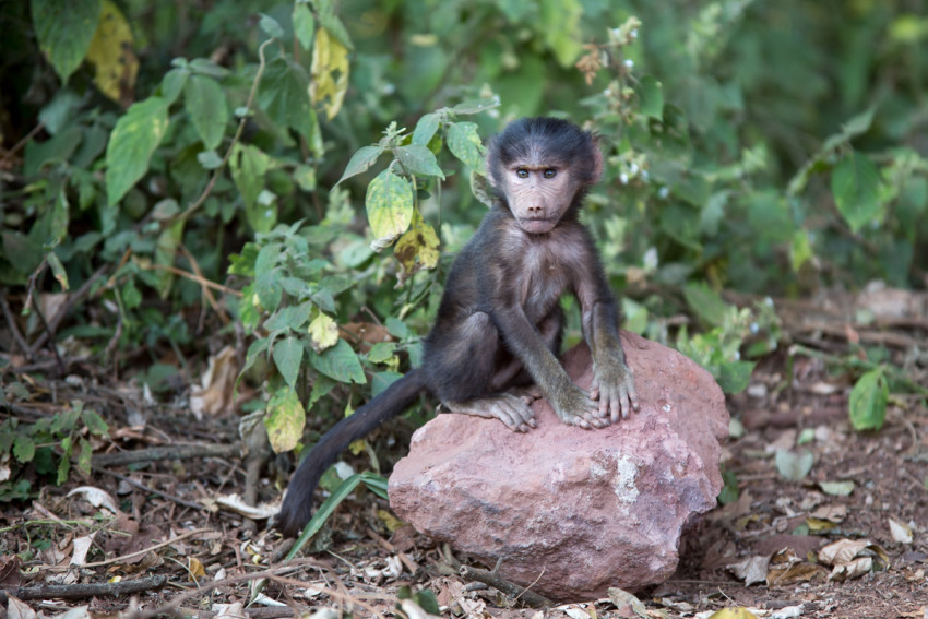 """Another baby baboon near the Ngorongoro crater. Not exactly """"cute"""" babies."""