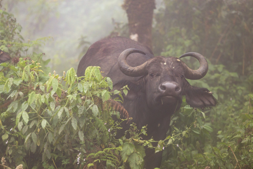 A buffalo in the foggy jungle around the Ngorongoro crater. The leave behind beautiful skulls.