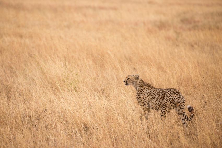 The elegant Cheetah. One of the fastest hunters in the Serengeti.