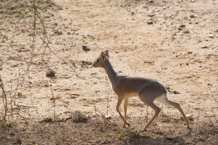 The elusive Dik Dik. It's like a small antelope and isn't very common to spot as they are very shy animals.