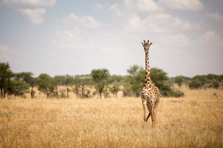 A Giraffe posing for the camera. One of the most common mammals you encounter in the park.