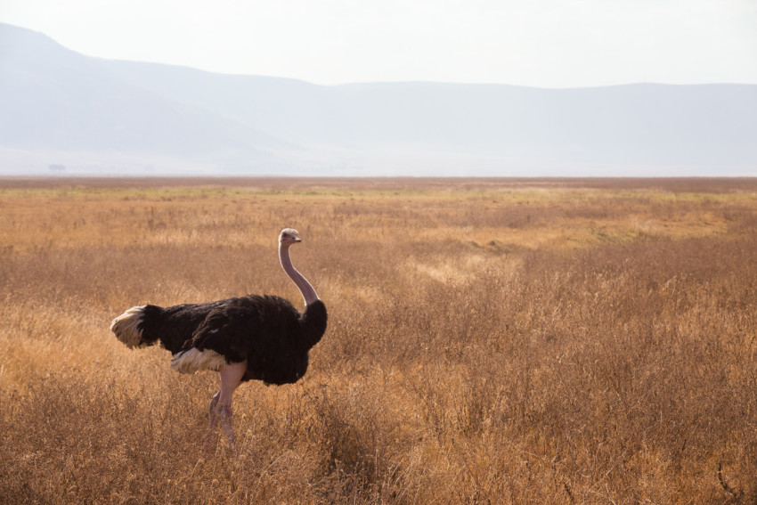 Ostrich are common to spot, especially in the Ngorongoro crater. And no, they don't bury their heads in the sand.
