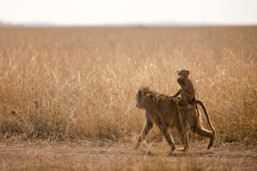A baby baboon riding on its mother's back in the Serengeti - Tanzania