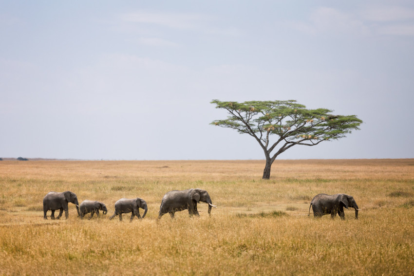 African Elephants in the Serengeti - Tanzania