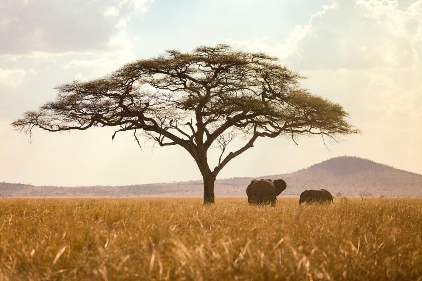 Serengeti_Elephants_Tree