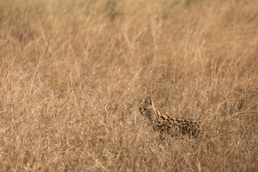 A Serval cat. They are quite small and are rare to spot in the Serengeti as they tend to hide and run away.