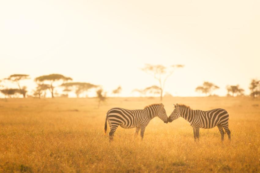 Zebra Love in the Serengeti - Tanzania